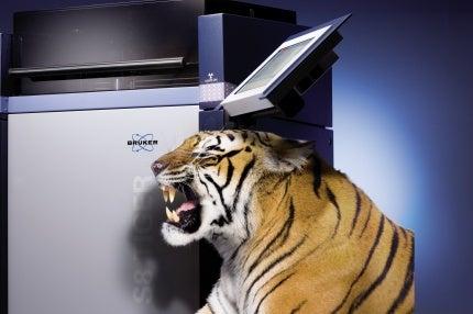 S8 tiger