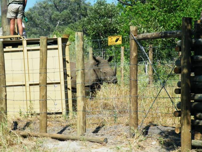 Rhino in enclosure